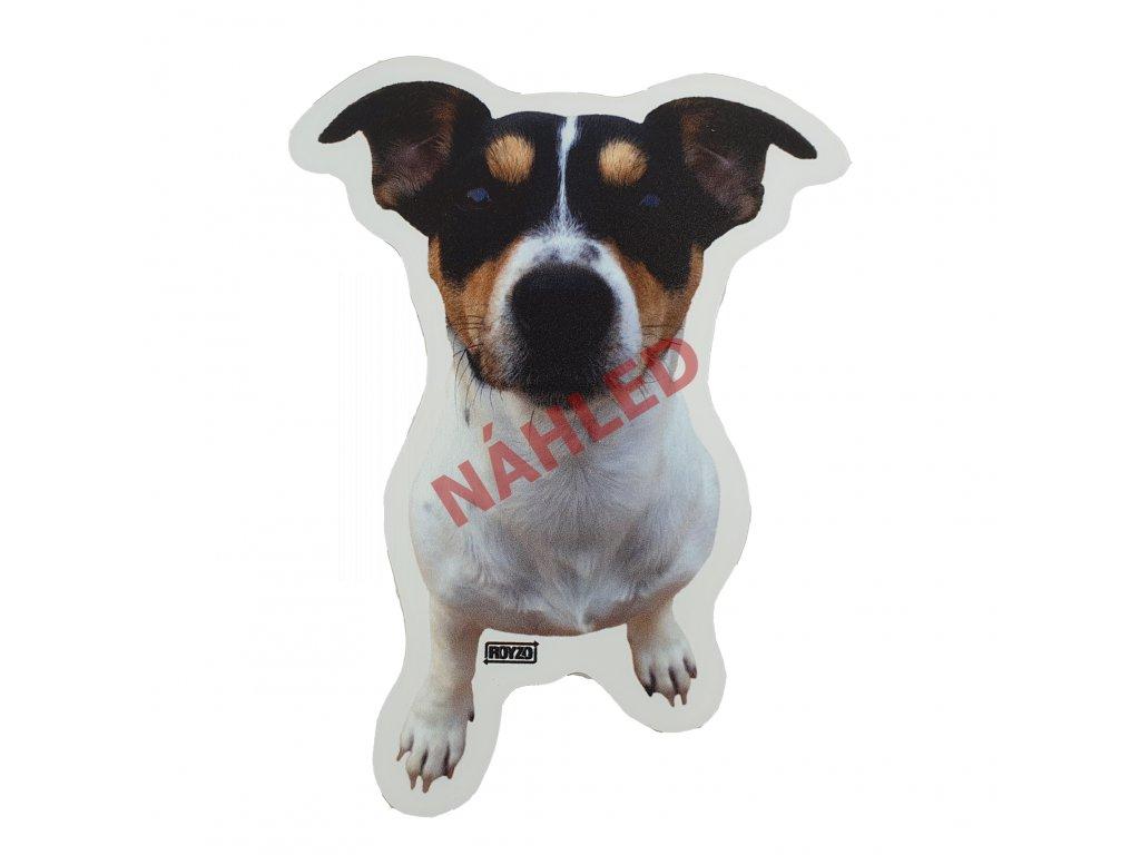 Jack Russel terrier tricolour