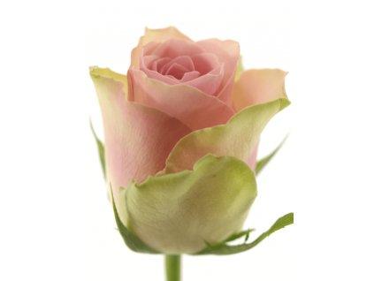 rosa belle rose