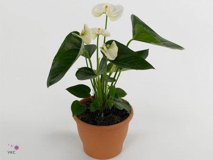 Anthurium Alaska white