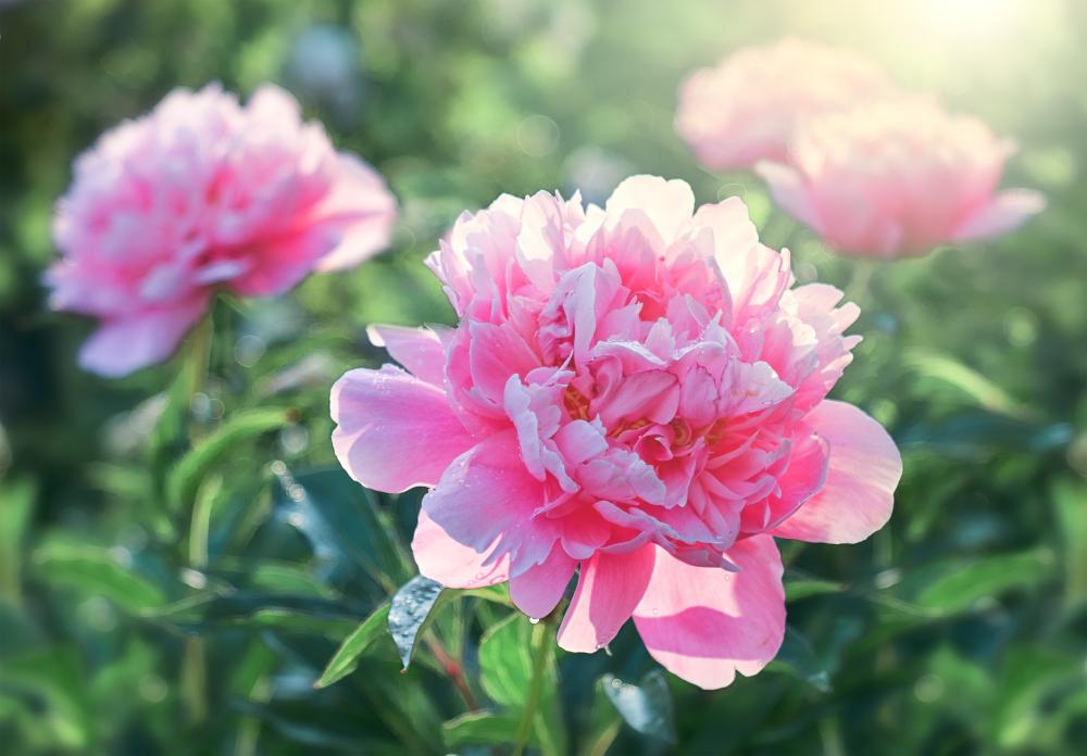 Pivonka – najstaršia liečivá bylinka