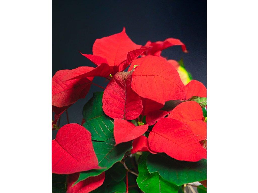 vianočná ruža červená