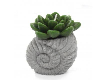Svíčka kaktus v květináči mušle 1 ks