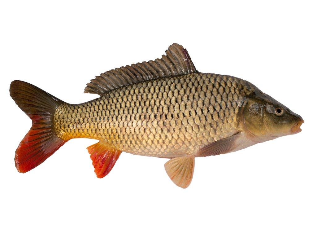 Kapr obecný celá ryba