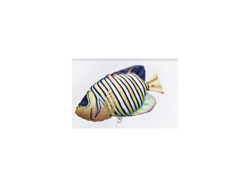 Pomec azurový mini (pomacanthus semicirculatus) - 32 cm polštářek