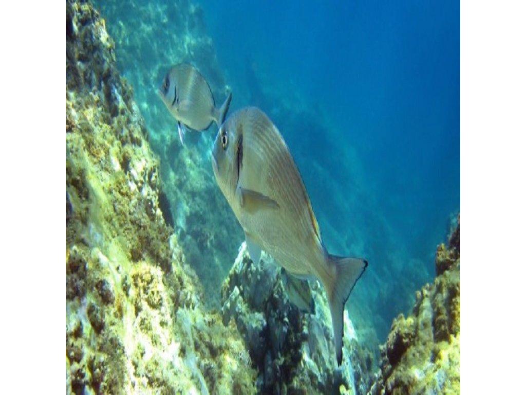 Pražma lovená (váhove možnosti 1000 g, čistenie ryby nechcem rybu vyčistiť)