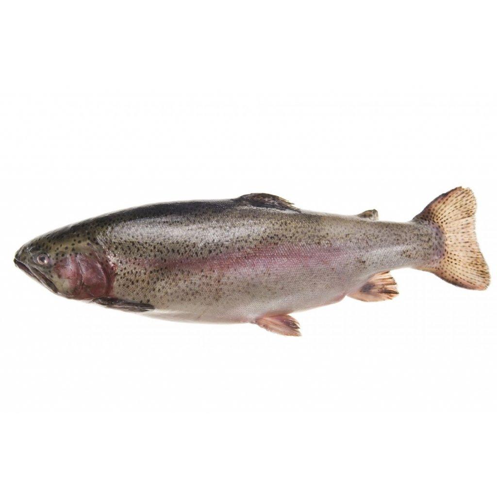 Pstruh lososový