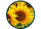 Tapeta slunečnice