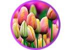 Tapeta tulipány