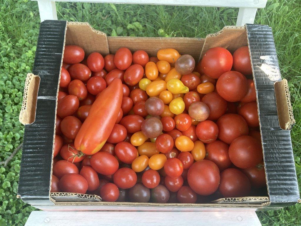 rajčatová bedýnka1