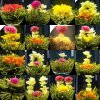 962 cinsky zeleny kvetouci caj