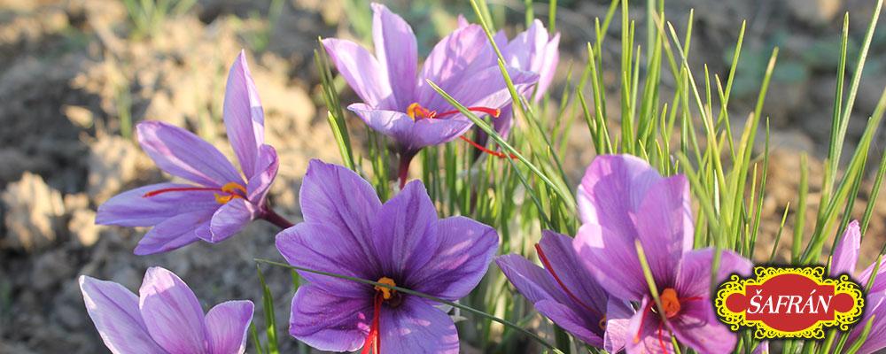šafrán květy
