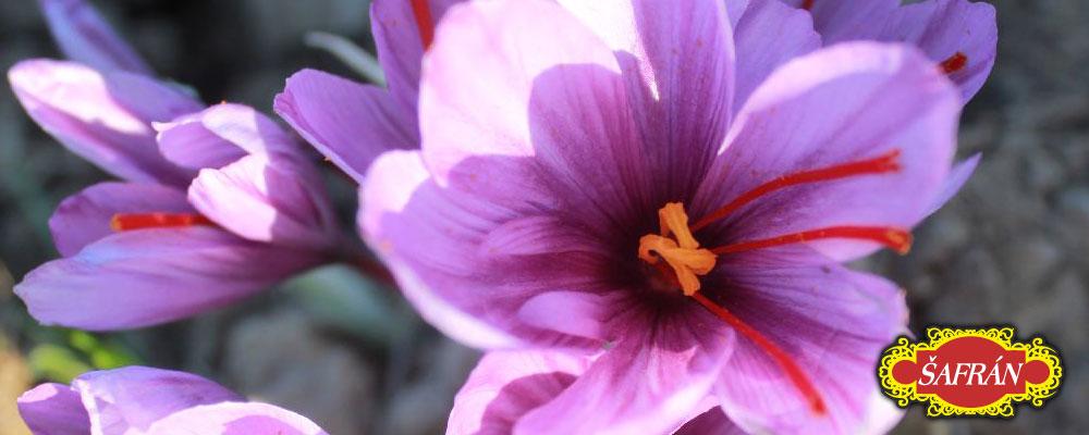 šafrán detail květu