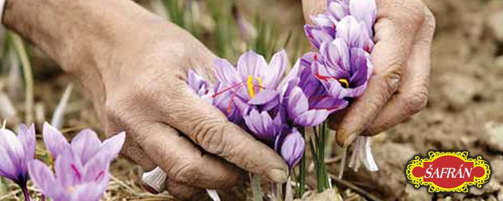 Květy šafránu na farmě