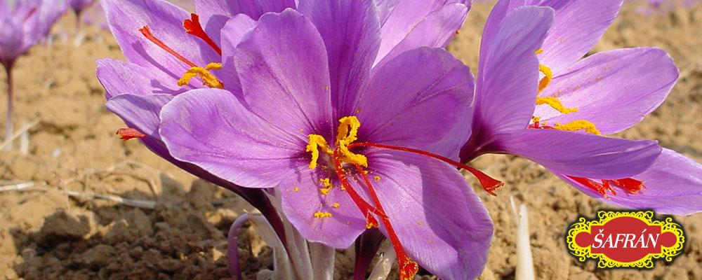 Detail kvetoucího šafránu