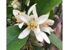 Citrusovo - květinové vůně