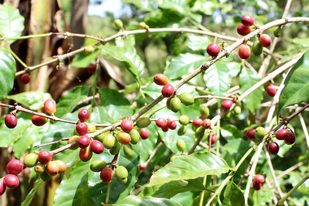 Etiópska káva Sidamo Kilenso Mokonisa