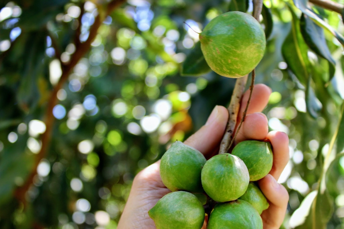 Makadamy: raw snack pre vaše zdravie