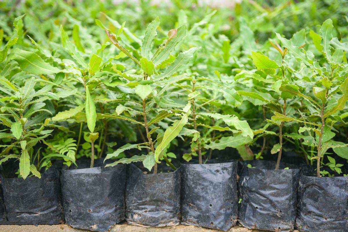 Makadámiové stromy zachraňujú kávu v Etiópii