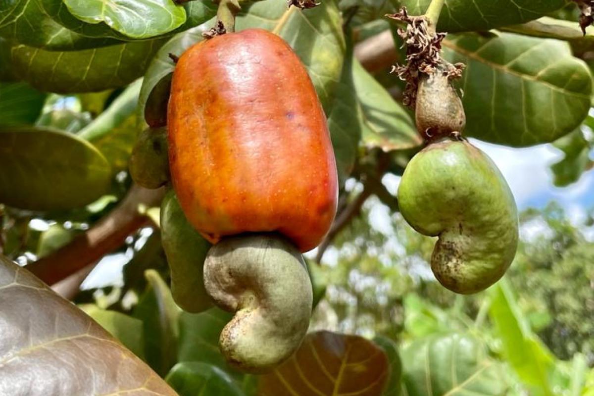 Obnova pestovania kešu orechov v Keni