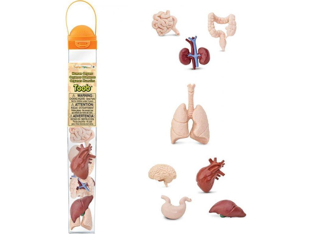 Tuba - Lidské orgány