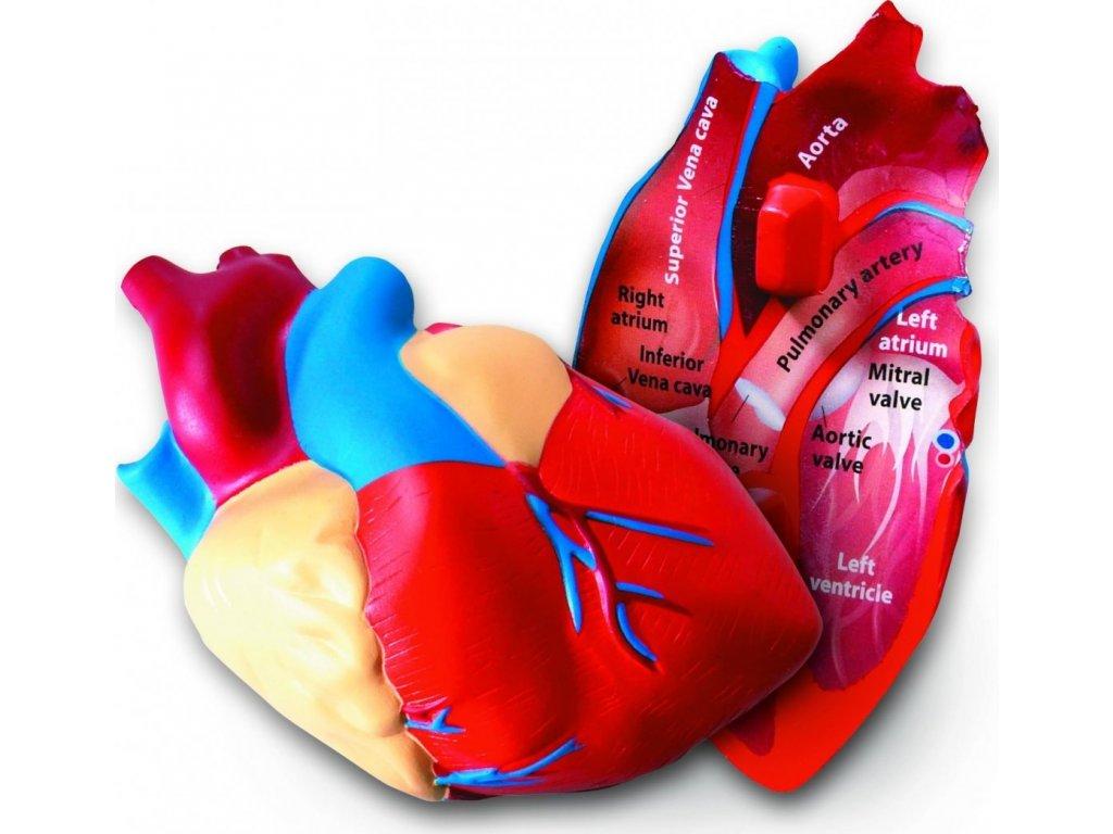 Pěnový model srdce