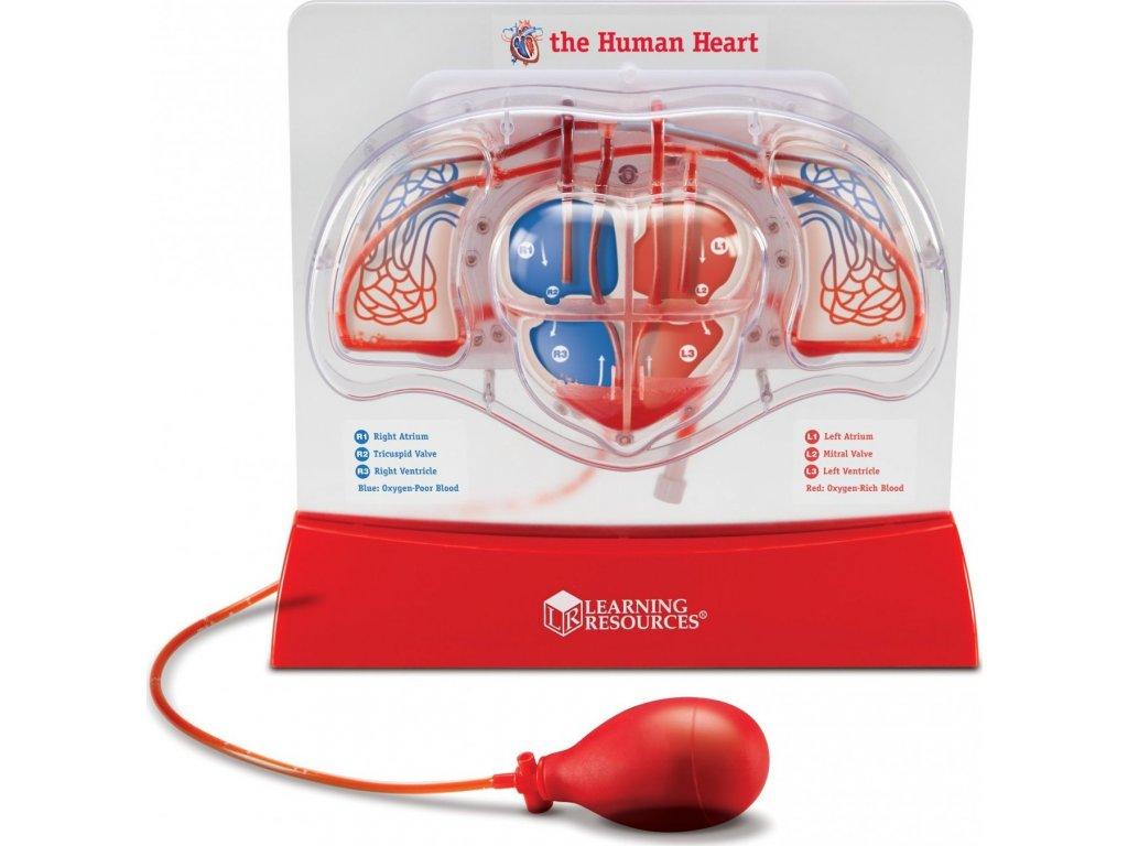 Krevní oběh v srdci