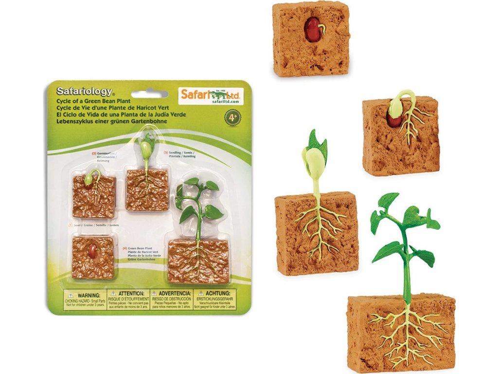 Životní cyklus - Zelená fazole