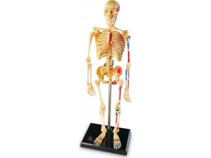 Anatomický model lidské kostry