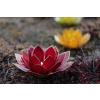 Lotosový svícen červeno-růžový