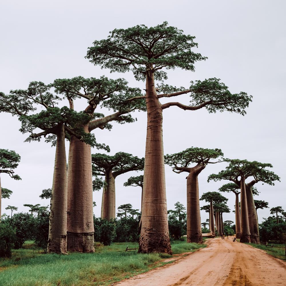 Baobab má třikrát více vitamínu C než pomeranče a dvakrát více vápníku než mléko.
