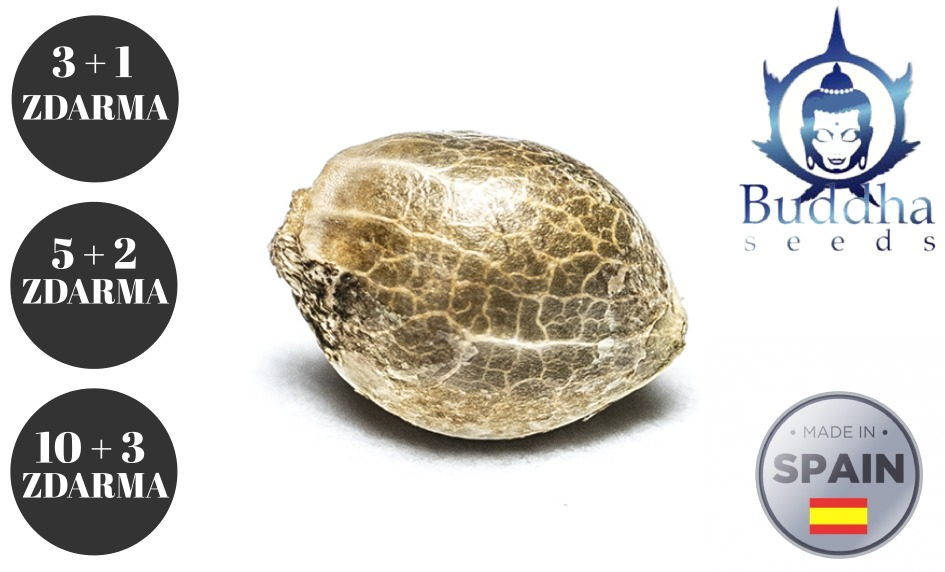 Buddha seeds | AKCE | Semenacannabis.cz