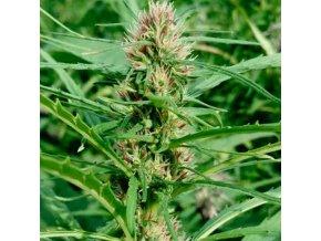 finola seeds