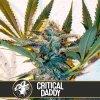 critical daddy cannabis seeds
