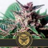 grizzly purple auto cannabis seeds
