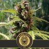 mamba negra auto cannabis seeds