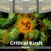 critical-kush-barneys-farm-regular-semena-konopi