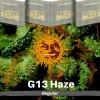 g-13-haze-barneys-farm-regularsemena-konopi