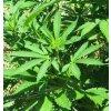 fedora 17 nativcanna cbd hanfsamen cannabisseeds