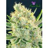 Sour Apple Anesia Seeds 1
