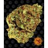 watermelon zkittlez auto circle new 21 298173