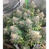 Mimosa X Orange Punch boshki marihuany zhauFqipZJZSUs3K