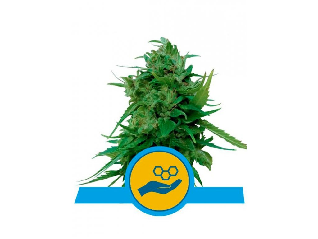 royal queen seeds solomatic cbd