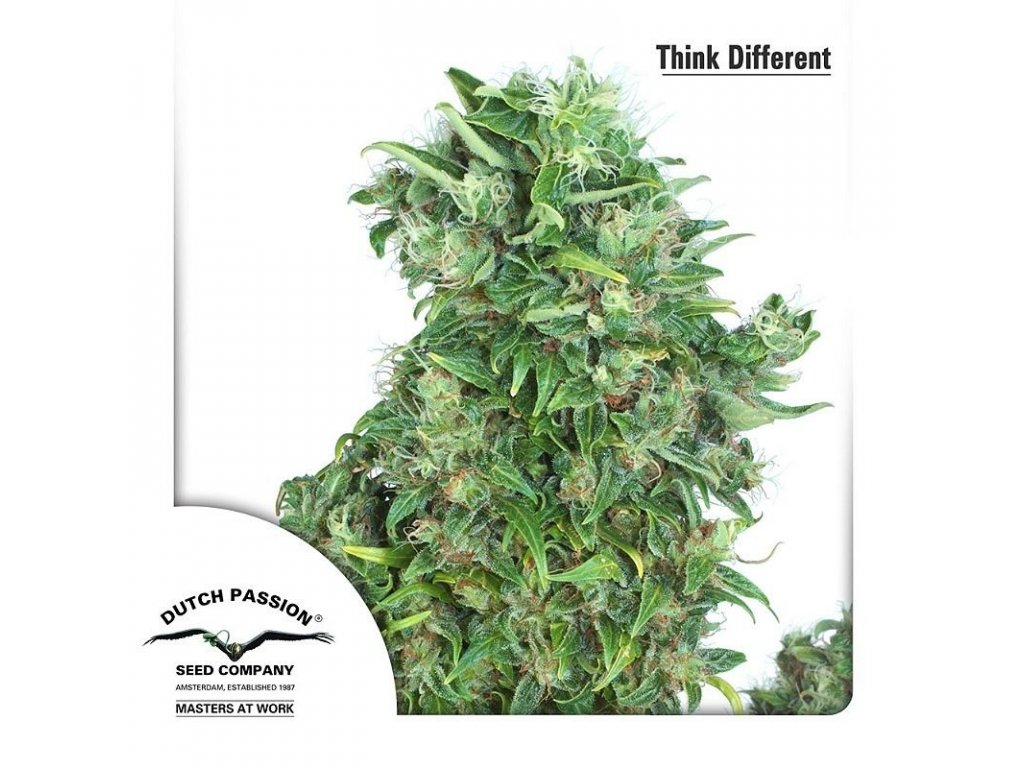 8725 think different dutch passion seeds
