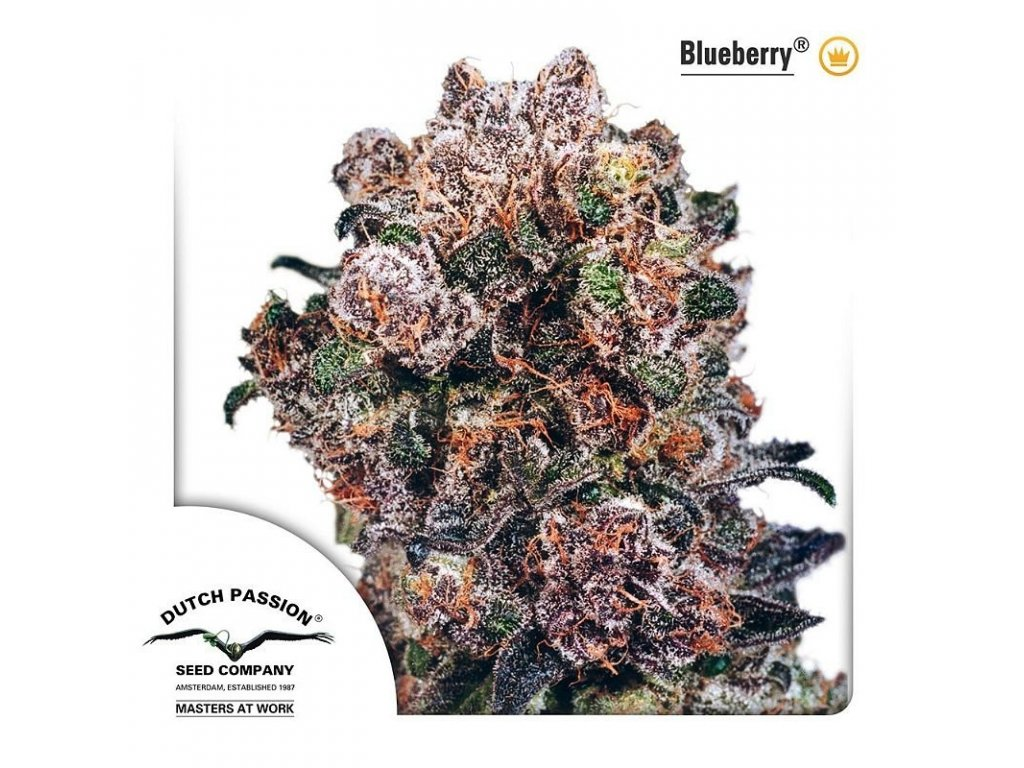 6909 blueberry dutch passion seeds