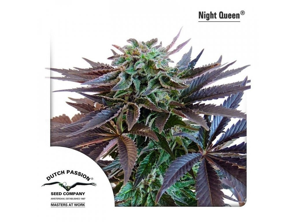8729 night queen dutch passion seeds
