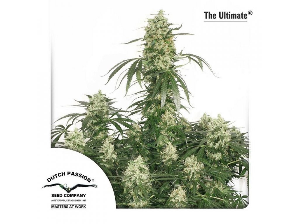 8050 the ultimate dutch passion seeds