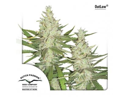 9139 outlaw dutch passion seeds