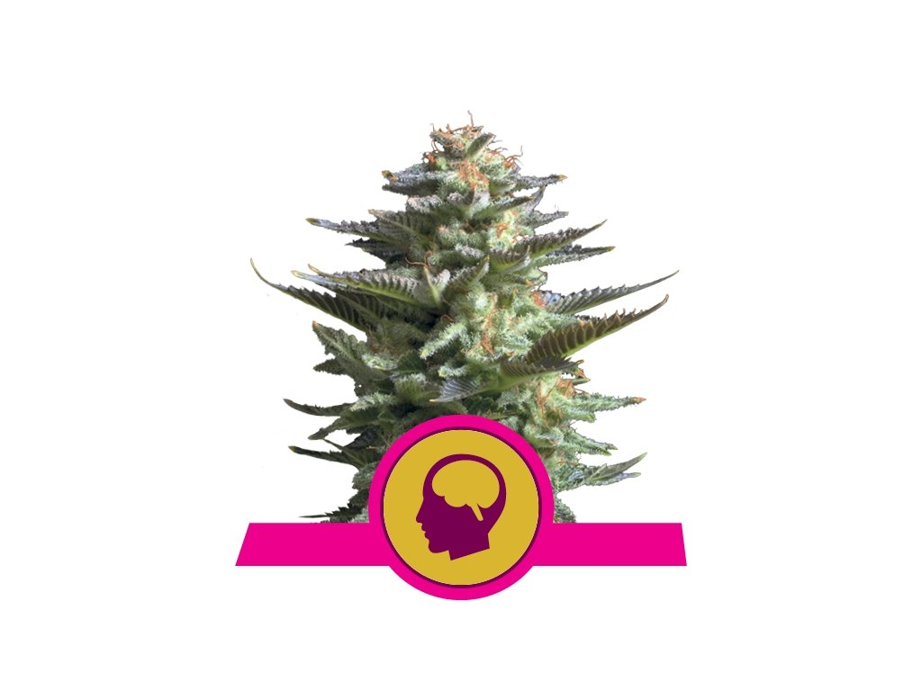 Amnesia Haze | Royal Queen Seeds