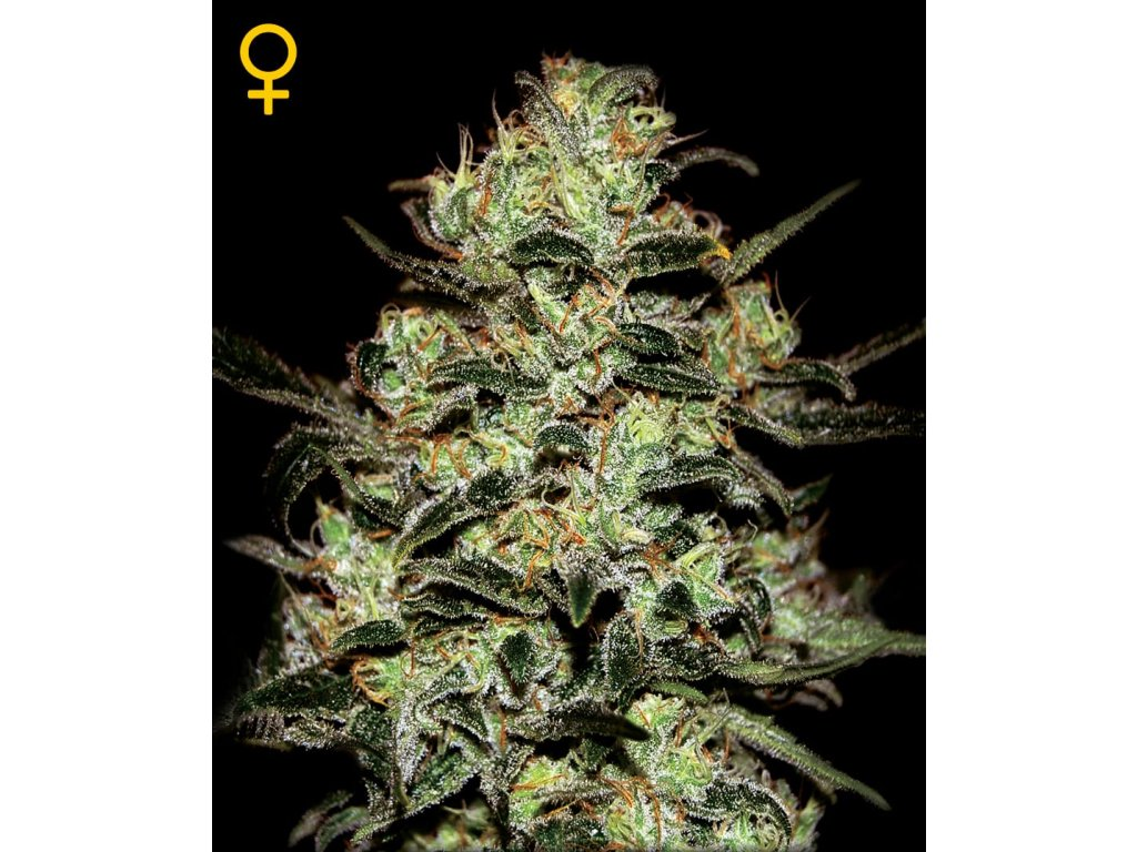 Moby Dick | Green House Seeds