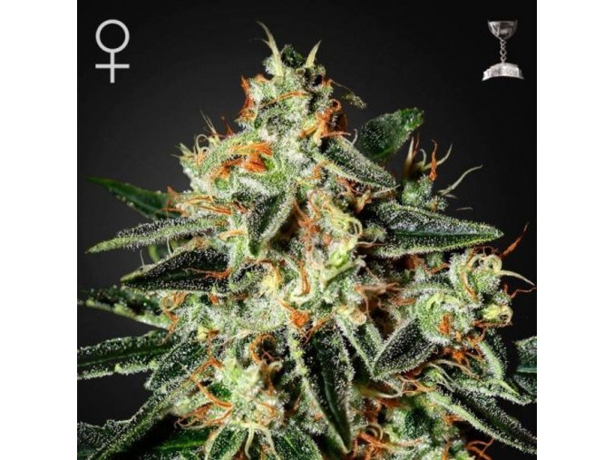 greenhouse seeds cheese feminized